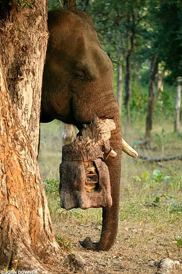 Слон-папарацци (8 фото)