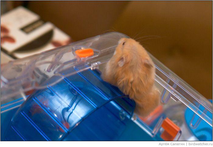 Хомяк - побег из клетки (10 фото)