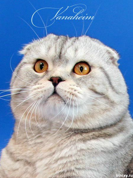 Мега-позитив! Шотландские вислоухие коты и котята (85 фото)