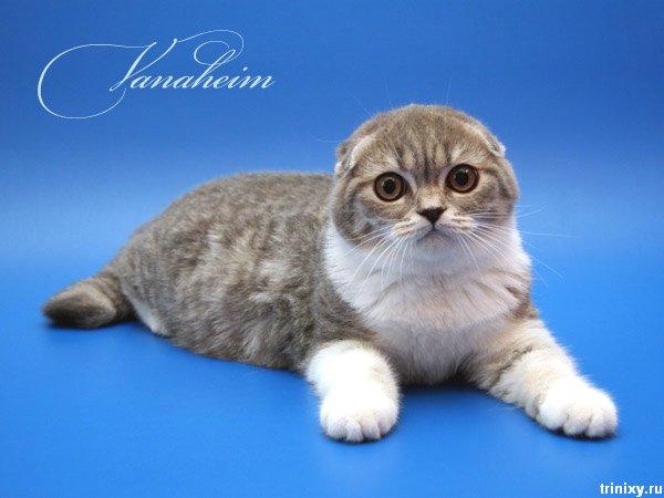 Шотландские вислоухие коты и котята (85 фото) 1. Прикольные картинки.