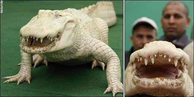 Данди и крокодил (4 фото)