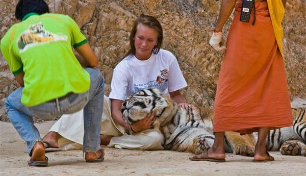 Ручные тигры в буддистском лесном храме Теравады, в Таиланде (13 фото)