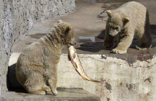 Уроки рыбалки для медвежат (7 фото)