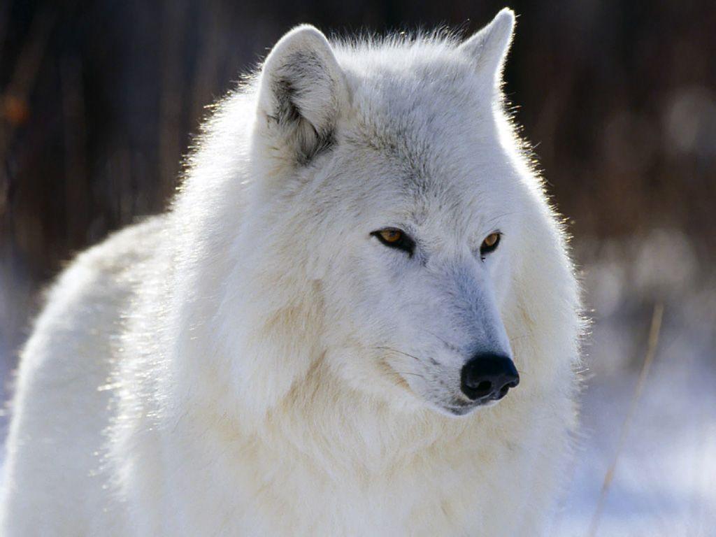 фотографии волков белых вашем личном