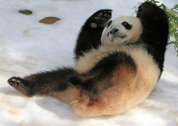 Самая смешная панда (6 фото)