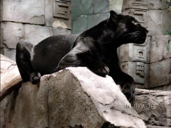 Пантеры (32 фото)