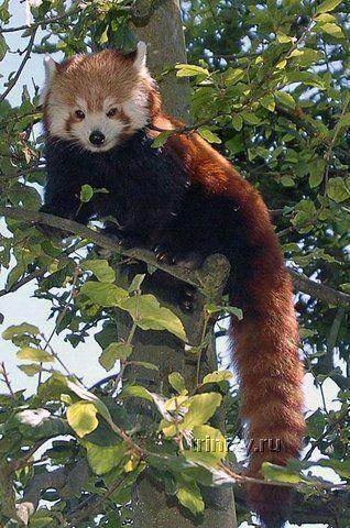 Красная малая панда (27 фото)