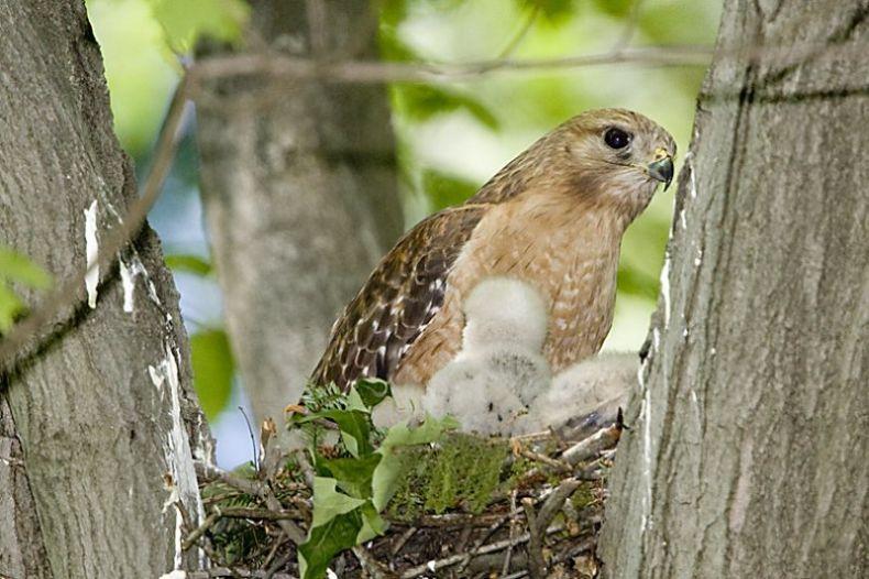 Птенцы хищных птиц башкирии фото