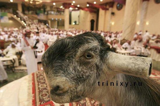 Самые красивые козлы (6 фото)