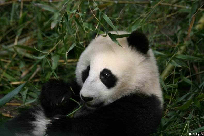 Фотосессия забавной панды (36 фото)