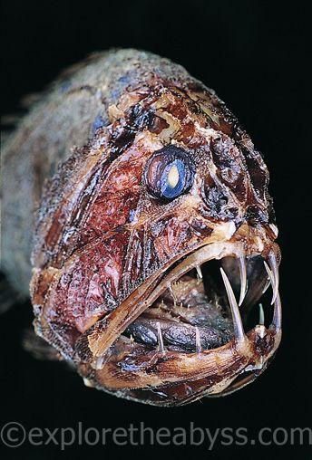 Глубоководные рыбы странные и самые неуловимые животные в