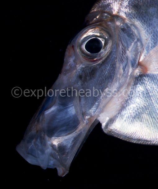 Самые редкие рыбы в мире (28 фото).