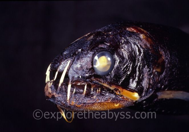 Уникальные глубоководные рыбы (46 фото)