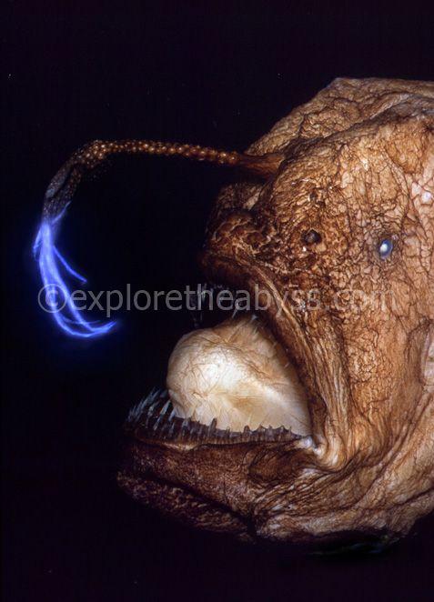 Тяжелые глубоководные мины (27 фотографий).  Самые редкие рыбы в мире (28