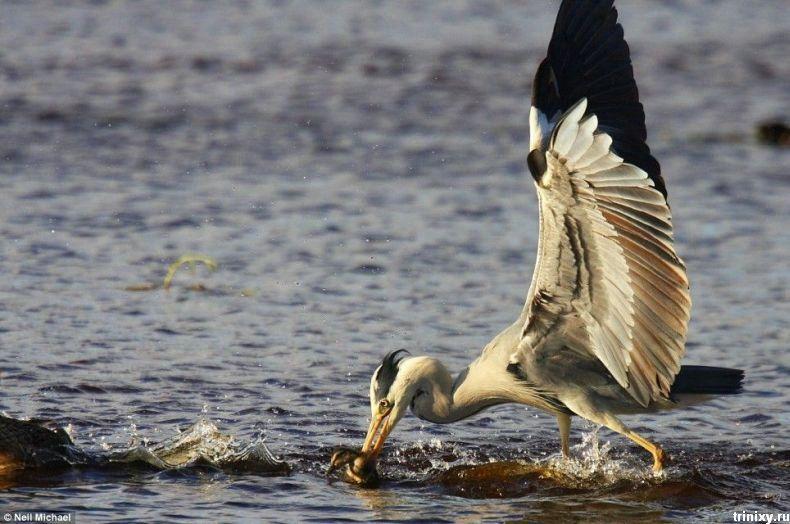 Киднеппинг в дикой природе (8 фото)