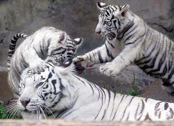 Забавные животные - Страница 6 Tigri_01