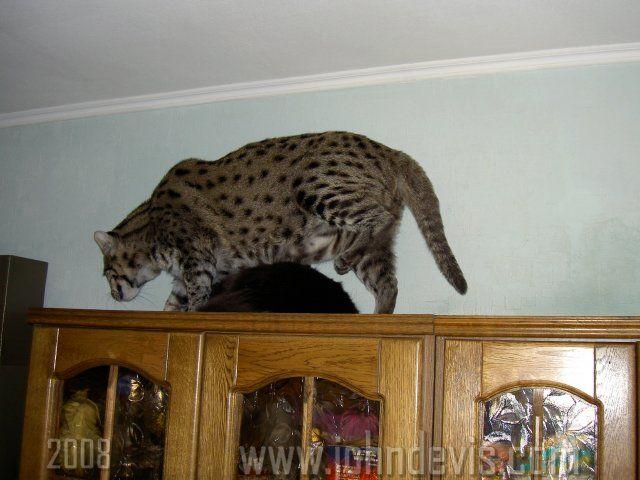 знакомьтесь это джон девис виверровый кот рыболов