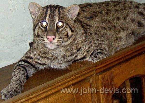 Джон Девис - кот-рыболов
