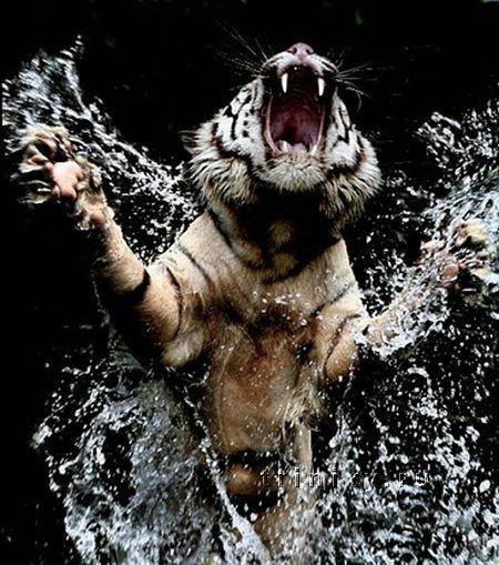 Белые тигры (41 фото)
