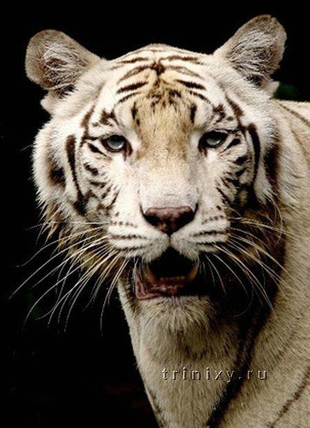 tigri_12.jpg