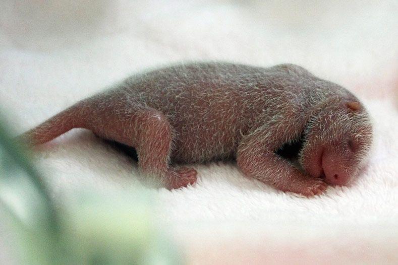 Детёныши панды (7 фото)