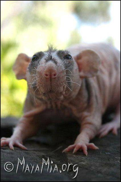 Позитивный пост про крыс (26 фото)