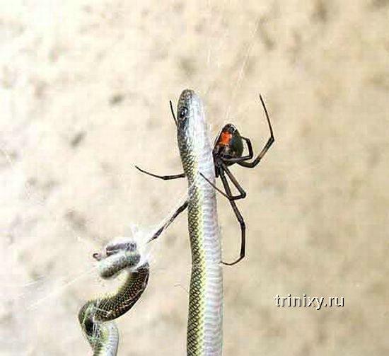 Змея против паука (4 фото)