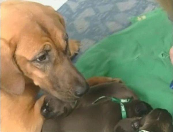 В Южной Корее клонировали собаку (15 фото)