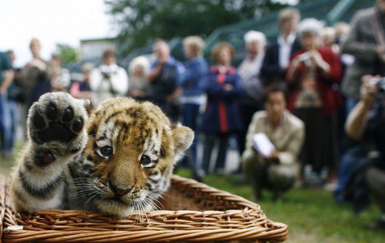 Первая встреча с людьми 6-месячного тигренка Антареса (7 фото)
