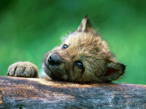 Волки 20 фото