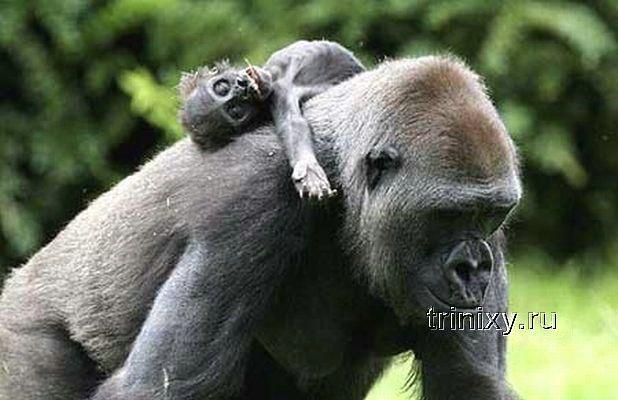 Трагедия гориллы Ганы (3 фото + видео)