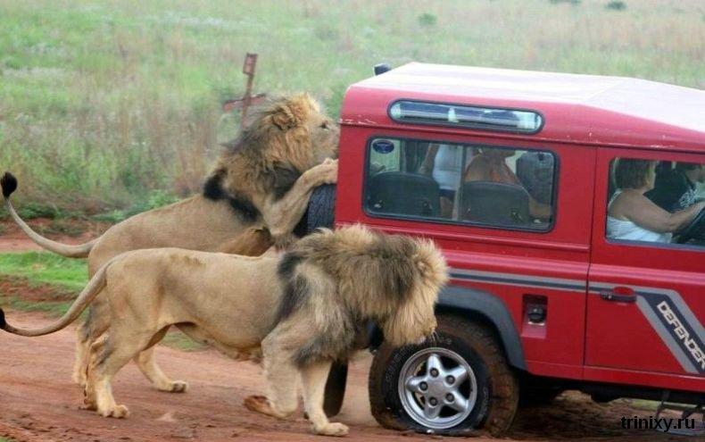 Львы научились тормозить туристов (6 фото)