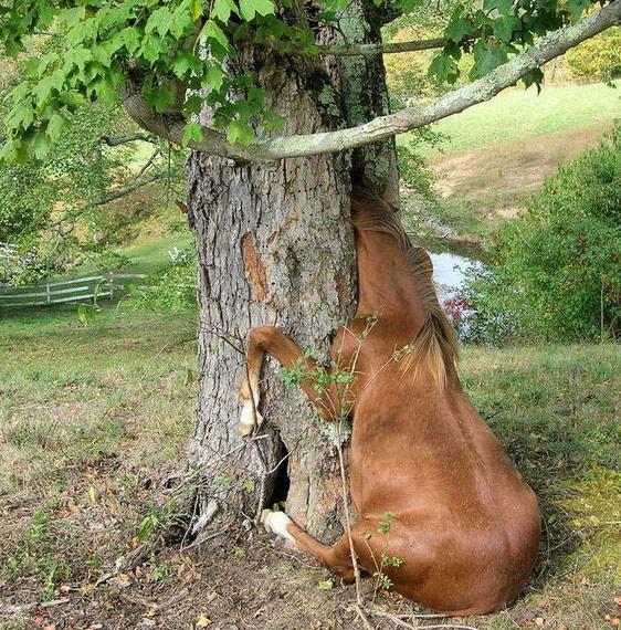 Застрявшие коровы и лошади (4 фото)