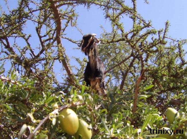 Козы на деревьях (36 фото)