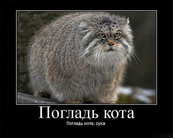 http://trinixy.ru/pics3/20081029/manul_01.jpg