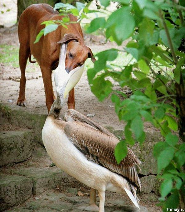 http://cdn.trinixy.ru/pics3/20081031/pelican_dog_03.jpg