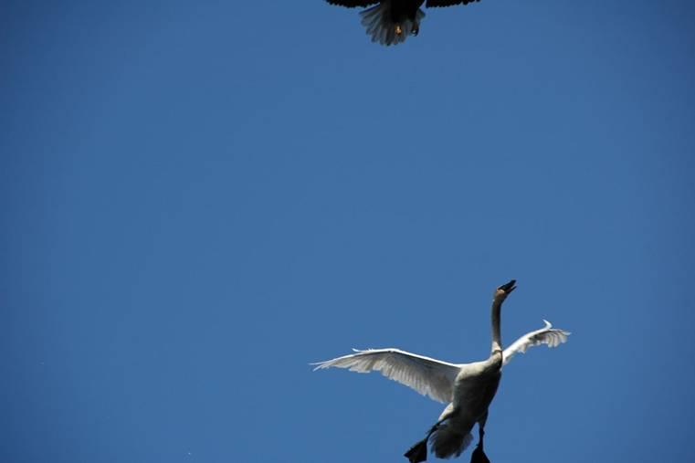 Как сбить лебедя (7 фото)