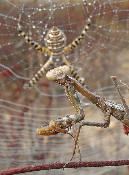 паук богомол фото