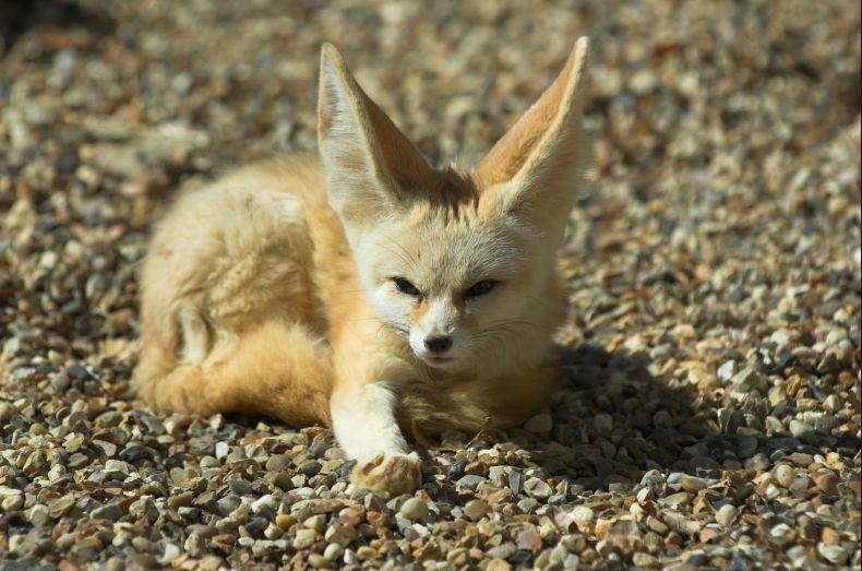 картинки пустынных лисичек азии считаются лучшим