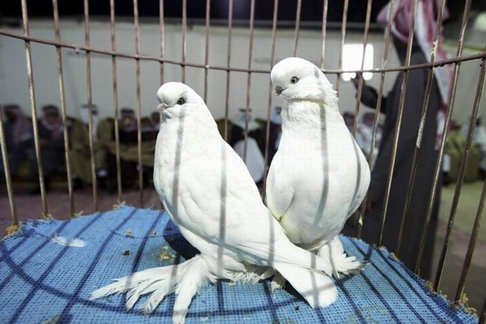 Как провести голубей контрабандой (2 фото)