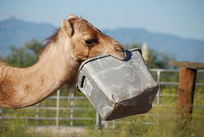 Верблюд уничтожает бачок (21 фото)