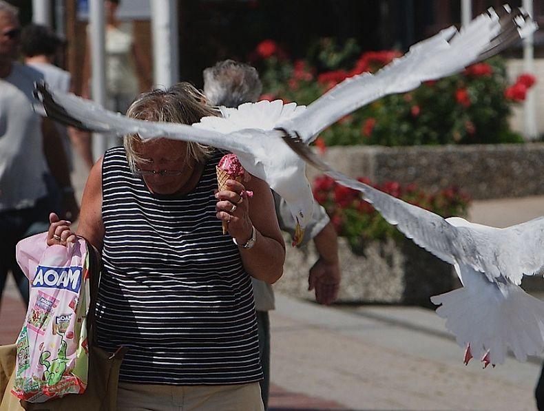 Как чайки воруют мороженое (14 фото)