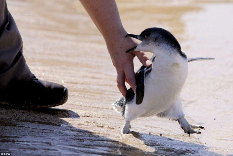 Детский садик для пингвинов (6 фото)