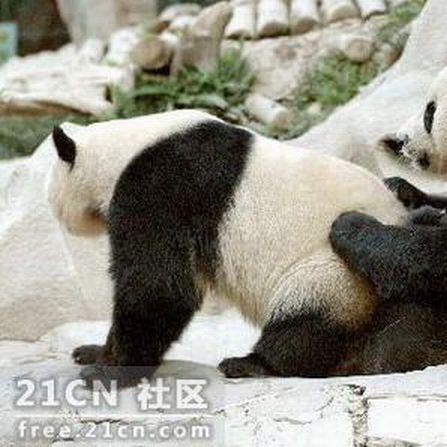 Панды смотрят порно (6 фото)
