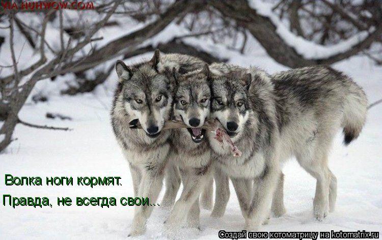 три волка.