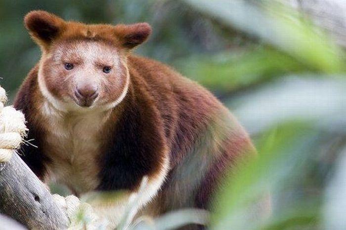 Древесное кенгуру (20 фото)