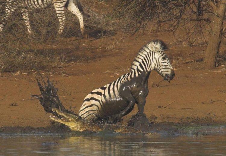 Зебра против крокодила. Кто победит? (10 фото)
