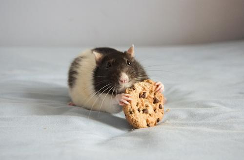 Прикольные крысы (48 Фото)