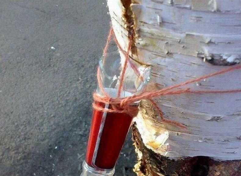Как в Сибири березовый сок добывают (4 фото)