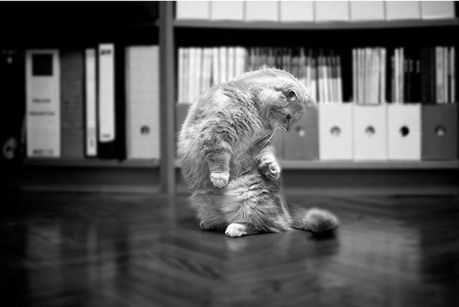 Гарфилды. Прикольные коты )) (43 фото)